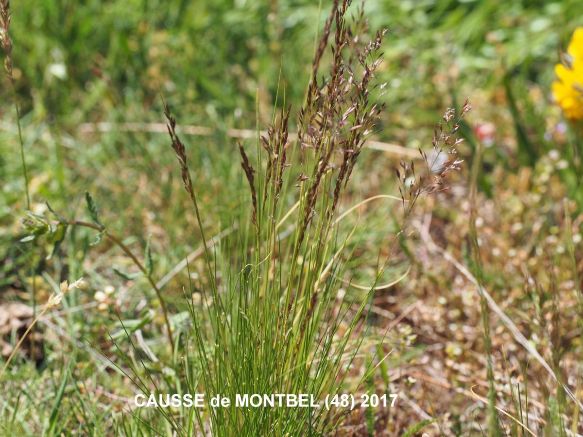 Meadow-grass, (Variegated) plant